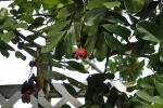 Ackee - Poisonous until fruit opens naturally.
